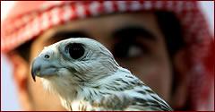 halcon-cetreria-desierto