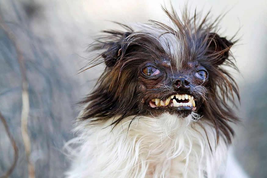 el perro más feo del mundo 2014