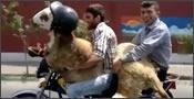 Seguridad vial con ovejas