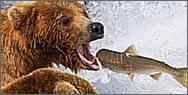 Festín de salmón