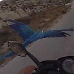 carrera-parrot200