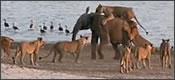 Elefante frente a un ataque de 14 leones
