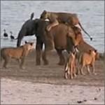 elefante-atacado-leones