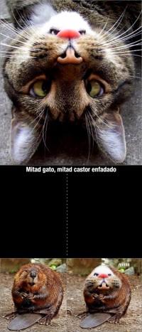 Mitad gato mitad castor enfadado