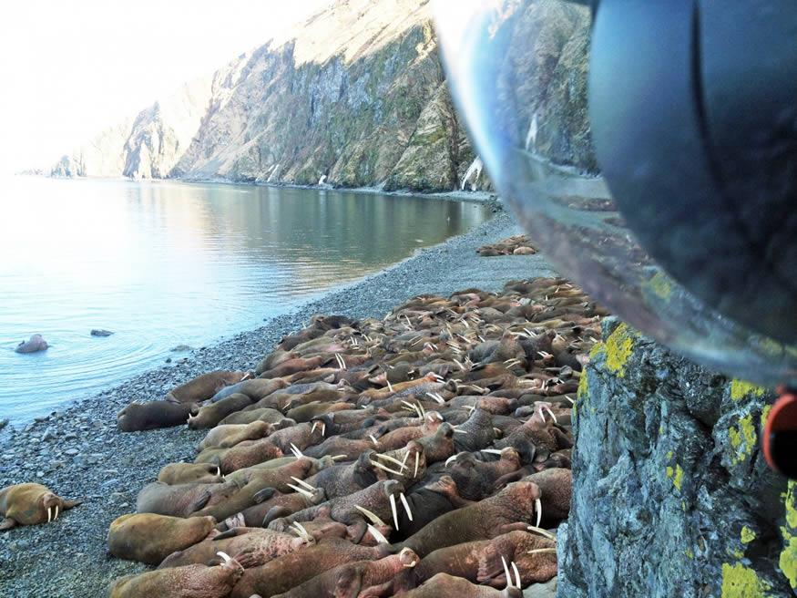 Morsas en directo desde Alaska