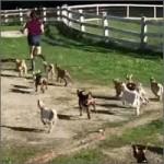 cabras-corriendo