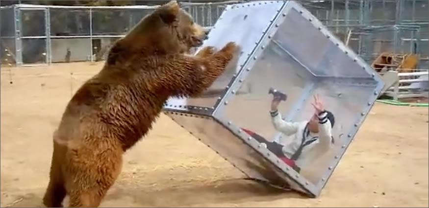 oso furioso