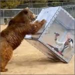 oso-furioso