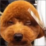perro-peluquero