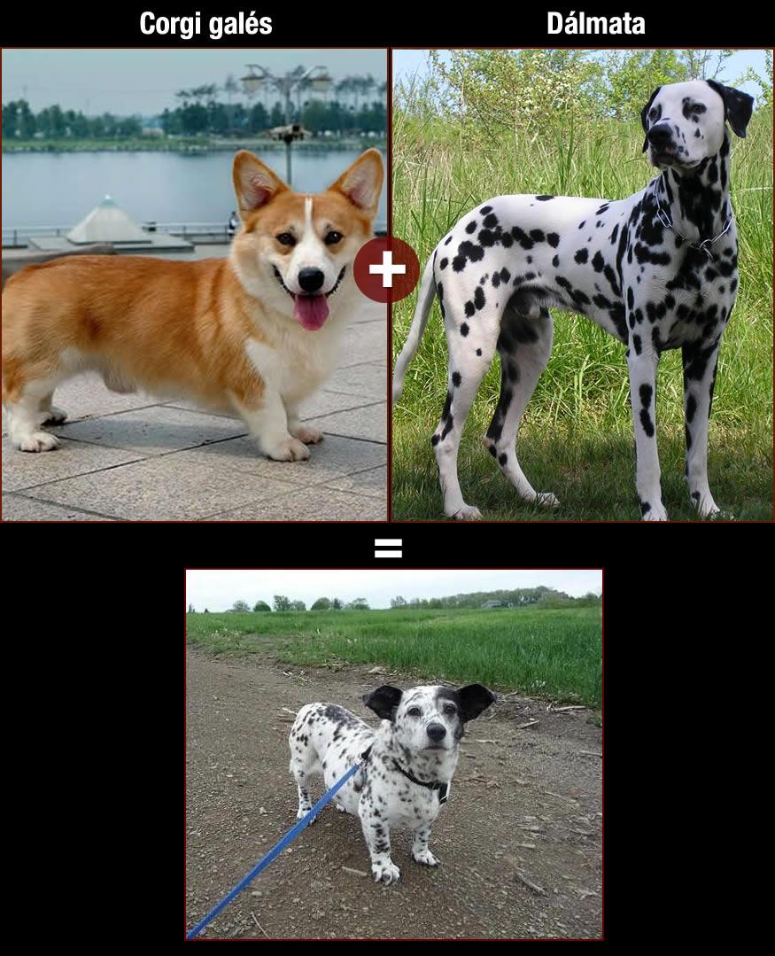 perros-dalmata
