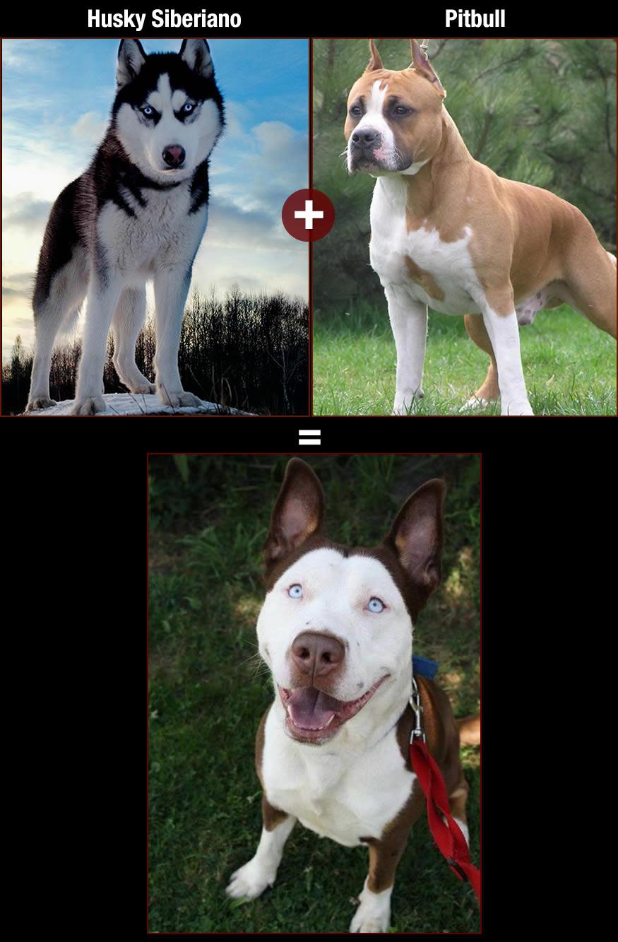 perros-pitboll-husky