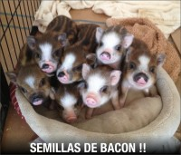 Semillas de bacon