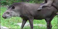 tapir-leche