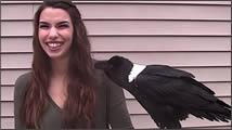Cuervo hablador