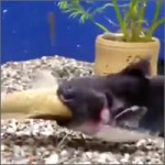 pecera-pescadito