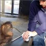 reaccion-orangutan