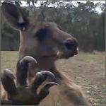 pesadilla-canguro