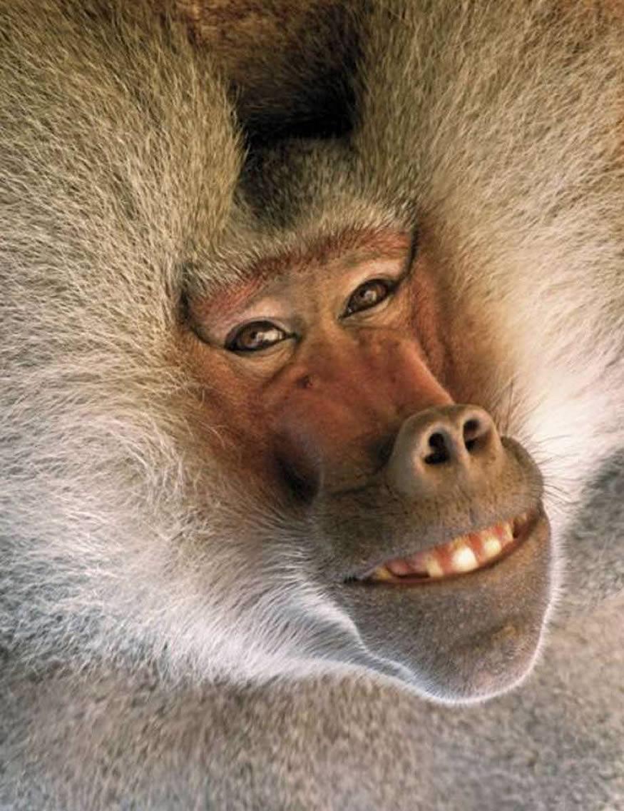 babuino-meme-rie