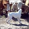 boxer-vacas-200