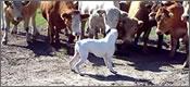 boxer-vacas-t