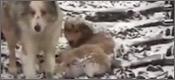 perro-pandat
