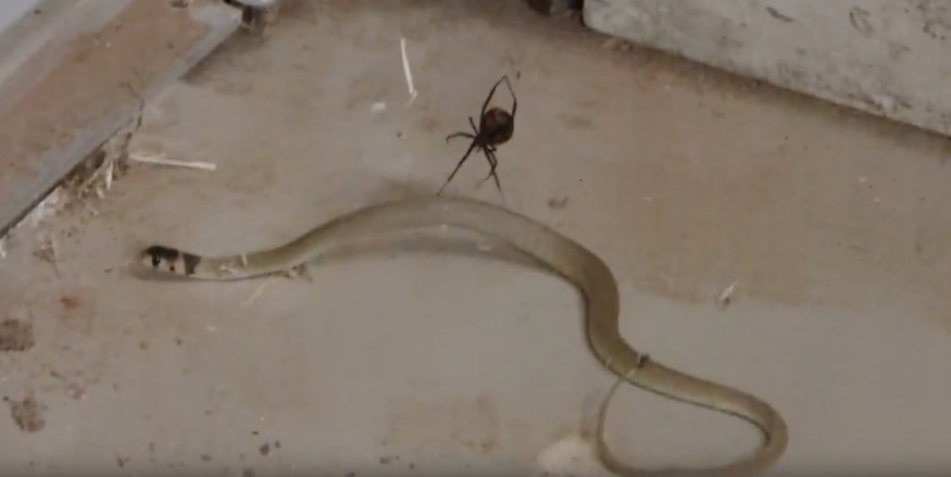 aranya-serpiente1