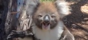 koala-llora1