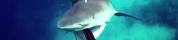 tiburon-atacat