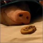cerdo-galleta