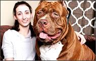 pitbull gigante