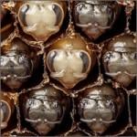abejas-criando