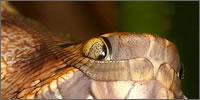 capullo con pinta de serpiente