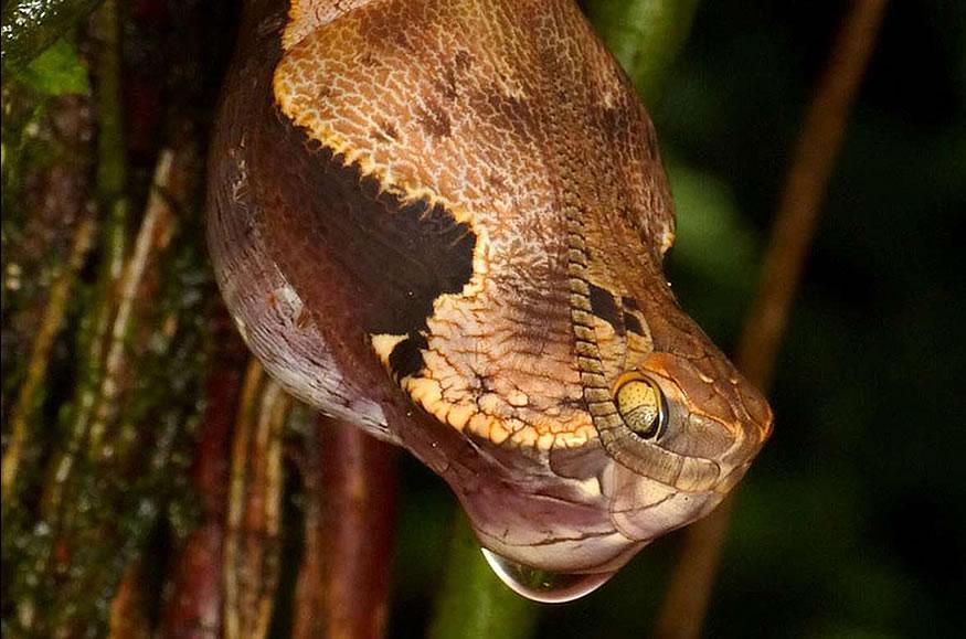 capullo-serpiente-f4