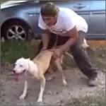 pitbull-saltando