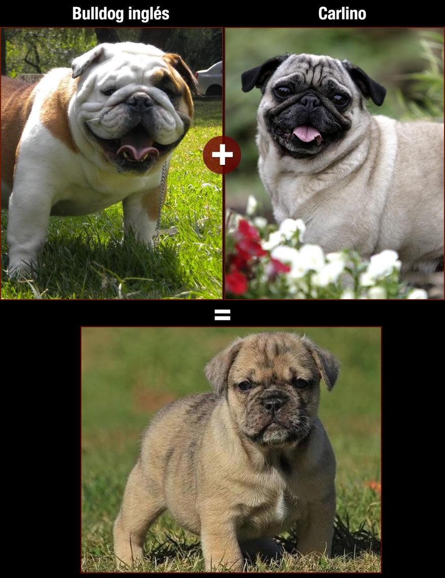 perros-bulldog