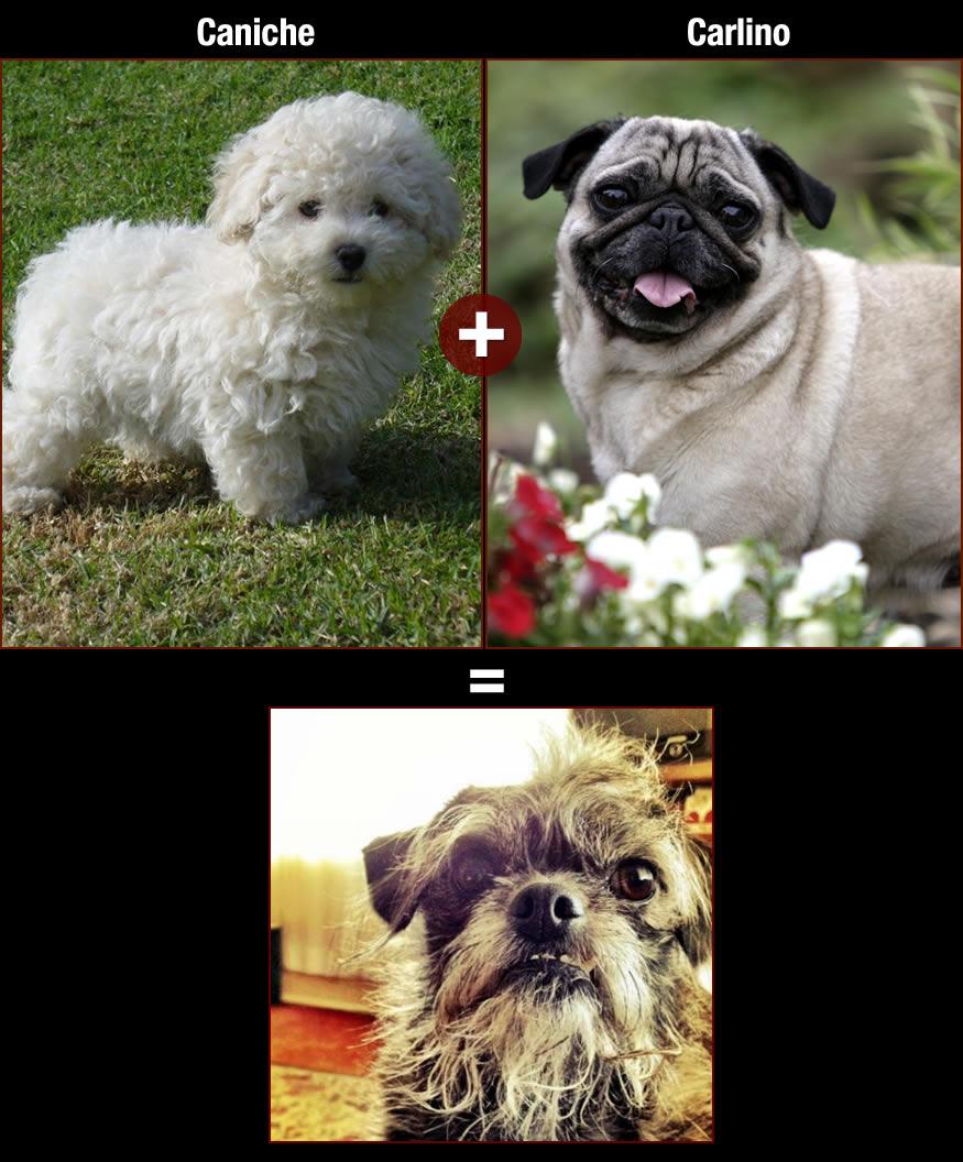 perros-caniche