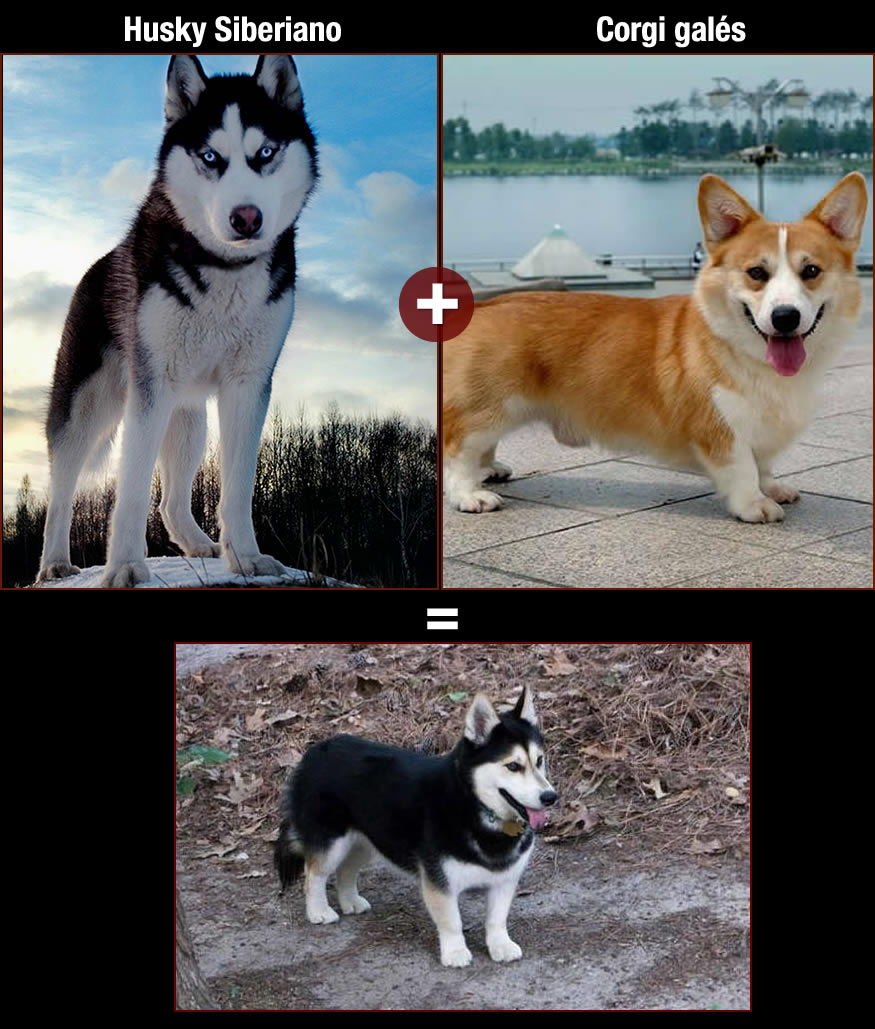 perros-corgi-siberiano