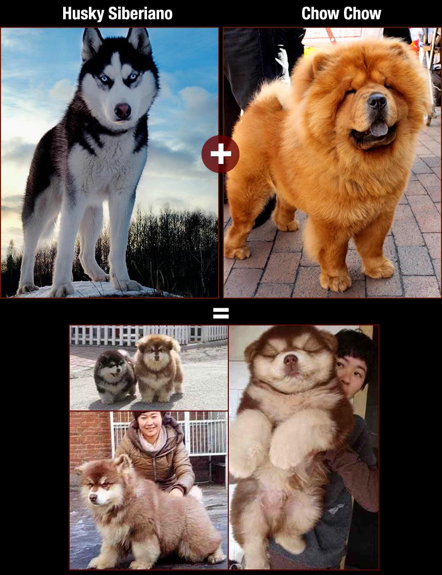 perros-husky-chow