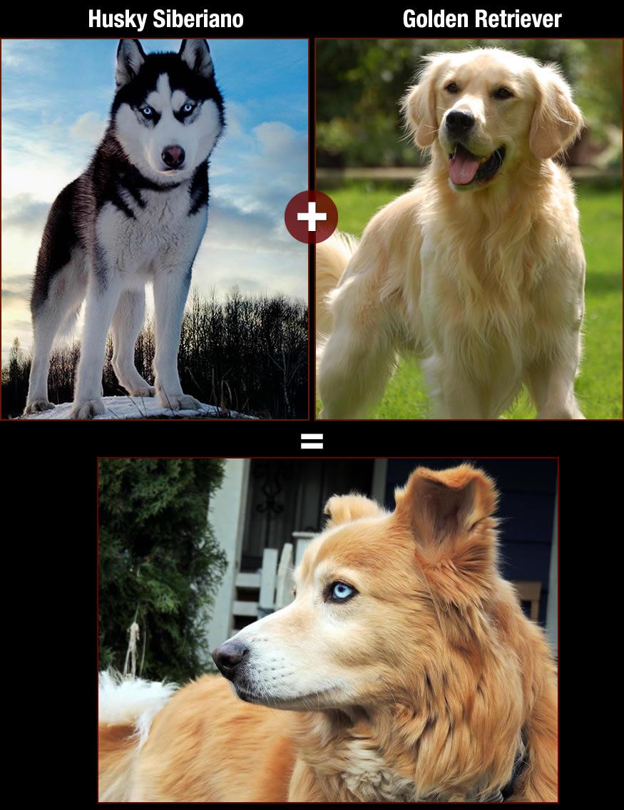 perros-husky-retri
