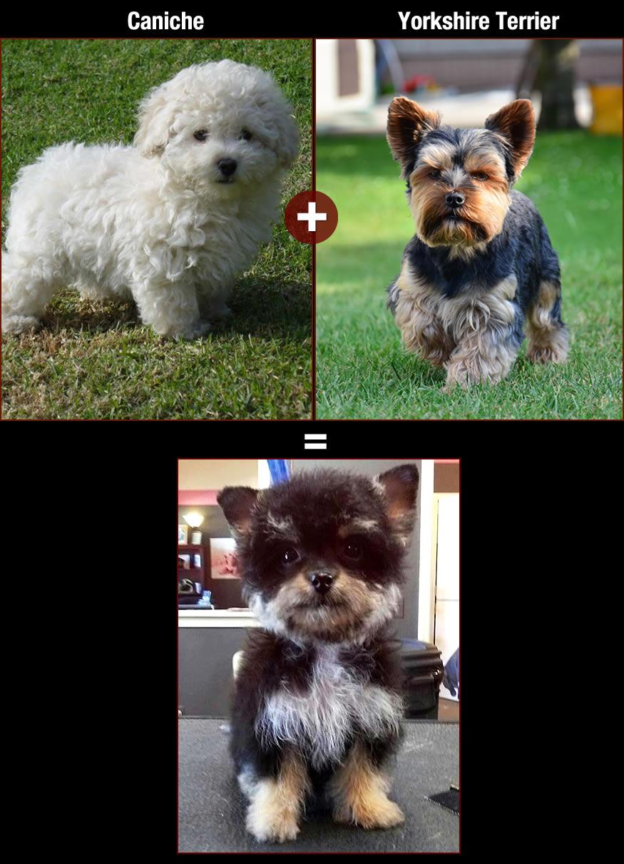 mezclas entre razas de perros