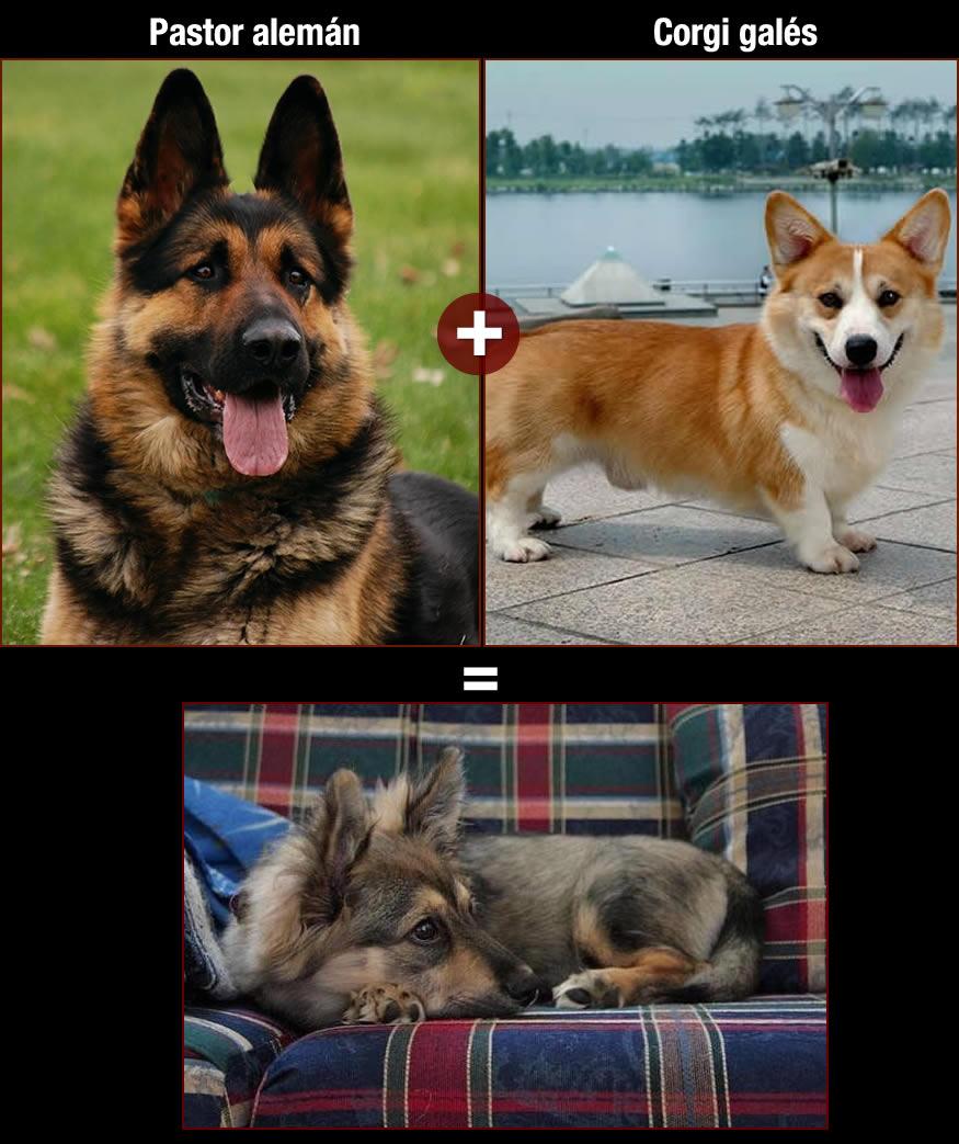 perros-pastor