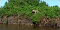 africa-jaguar