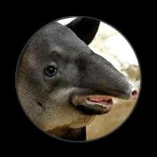 tapir-corrida