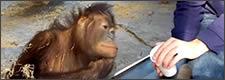 Reacción de un orangután