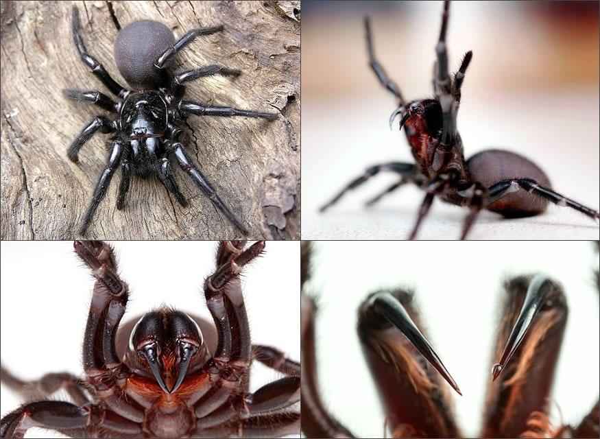 Araña mortal escondida