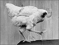 pollo-mike