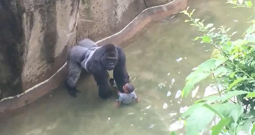 Niño cae en la fosa del gorila