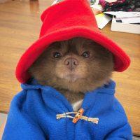 Mi perro es Paddington IRL